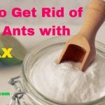 How to Get Rid of Sugar Ants with Borax