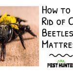 How to Get Rid of Carpet Beetles in Mattress