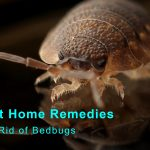 5 Best Home Remedies to Get Rid of Bedbugs